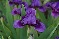 Novelette Iris (Iris 'Novelette') at Alsip Home and Nursery