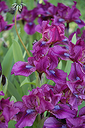 Raspberry Jam Iris (Iris 'Raspberry Jam') at Alsip Home and Nursery