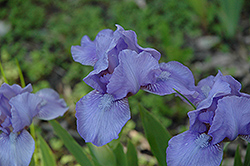 Eramosa Skies Iris (Iris 'Eramosa Skies') at Alsip Home and Nursery