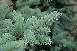 Bacheri Blue Spruce (Picea pungens 'Bacheri') at Alsip Home and Nursery