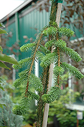 Cobra Norway Spruce (Picea abies 'Cobra') at Alsip Home and Nursery