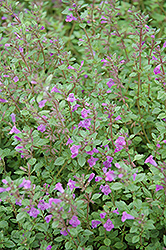 Rock Thyme (Acinos alpinus) at Alsip Home and Nursery