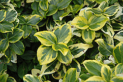 Gold Prince Wintercreeper (Euonymus fortunei 'Gold Prince') at Alsip Home and Nursery