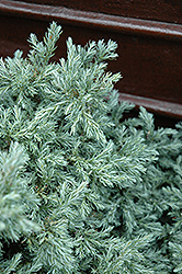 Baby Blue Moss Falsecypress (Chamaecyparis pisifera 'Baby Blue') at Alsip Home and Nursery