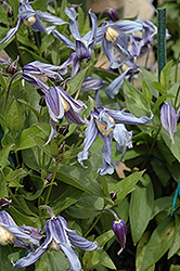 Caerulea Solitary Clematis (Clematis integrifolia 'Caerulea') at Alsip Home and Nursery