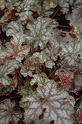 Can Can Coral Bells (Heuchera 'Can Can') at Alsip Home and Nursery