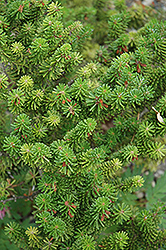 Prostrate Beauty Korean Fir (Abies koreana 'Prostrate Beauty') at Alsip Home and Nursery
