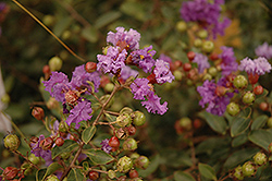 Violet Filli Crapemyrtle (Lagerstroemia indica 'Violet Filli') at Alsip Home and Nursery