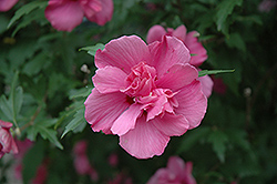 Lucy Rose Of Sharon (Hibiscus syriacus 'Lucy') at Alsip Home and Nursery