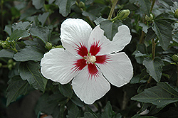 Lil' Kim® Rose of Sharon (Hibiscus syriacus 'Antong Two') at Alsip Home and Nursery