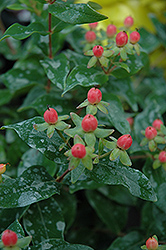 Mystical Red Star St. John's Wort (Hypericum 'Mystical Red Star') at Alsip Home and Nursery