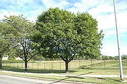 Norway Maple (Acer platanoides) at Alsip Home and Nursery