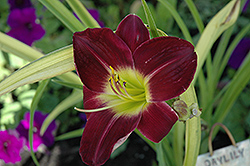 Regal Finale Daylily (Hemerocallis 'Regal Finale') at Alsip Home and Nursery