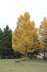 European Larch (Larix decidua) at Alsip Home and Nursery