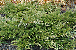 Calgary Carpet Juniper (Juniperus sabina 'Calgary Carpet') at Alsip Home and Nursery