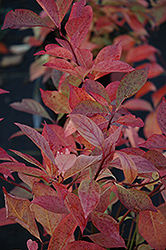 Little Henry® Virginia Sweetspire (Itea virginica 'Sprich') at Alsip Home and Nursery