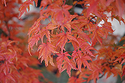 Lions Head Japanese Maple (Acer palmatum 'Shishigashira') at Alsip Home and Nursery