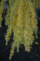 Varied Directions Larch (Larix decidua 'Varied Directions') at Alsip Home and Nursery