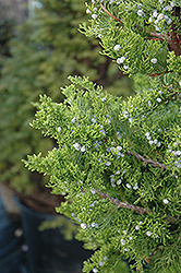 Hollywood Juniper (Juniperus chinensis 'Torulosa') at Alsip Home and Nursery