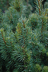 Citation Yew (Taxus x media 'Citation') at Alsip Home and Nursery