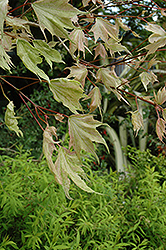 Usugumo Japanese Maple (Acer mono 'Usugumo') at Alsip Home and Nursery