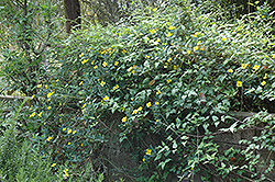 Island Bush Poppy (Dendromecon harfordii) at Alsip Home and Nursery