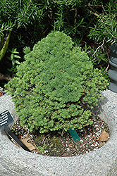 Conica Baby Spruce (Picea glauca 'Conica Baby') at Alsip Home and Nursery