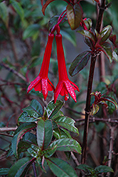 Redbush Fanling Fuchsia (Fuchsia 'Redbush Fanling') at Alsip Home and Nursery
