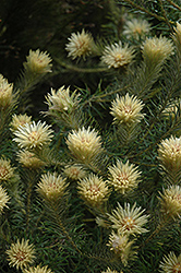 Featherhead (Phylica pubescens) at Alsip Home and Nursery