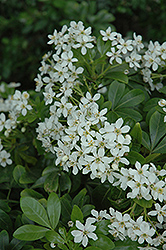 Mexican Mock Orange (Choisya ternata) at Alsip Home and Nursery