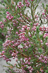 Berry Flower Heath (Erica baccans) at Alsip Home and Nursery