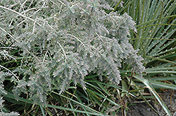 Gray Honey Myrtle (Melaleuca incana) at Alsip Home and Nursery