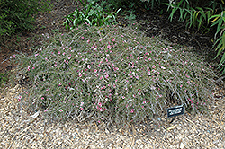 Pink Cascade Tea-Tree (Leptospermum scoparium 'Pink Cascade') at Alsip Home and Nursery
