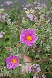 Rockrose (Cistus albidus) at Alsip Home and Nursery