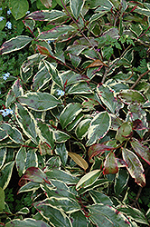 Variegated Cleyera (Cleyera japonica 'Variegata') at Alsip Home and Nursery