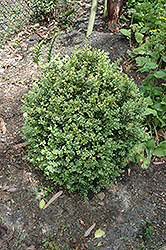 Golden Variegated Boxwood (Buxus sempervirens 'Aureovariegata') at Alsip Home and Nursery