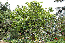 Japanese Emperor Oak (Quercus dentata) at Alsip Home and Nursery