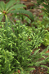 Jindai Sugi Japanese Cedar (Cryptomeria japonica 'Jindai Sugi') at Alsip Home and Nursery