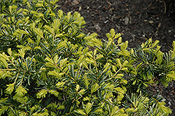 Watnong Gold Yew (Taxus baccata 'Watnong Gold') at Alsip Home and Nursery