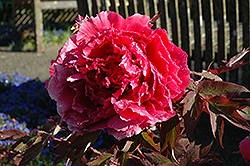 Hoki Tree Peony (Paeonia suffruticosa 'Hoki') at Alsip Home and Nursery