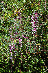 Weeping Indigo Shrub (Indigofera pendula) at Alsip Home and Nursery