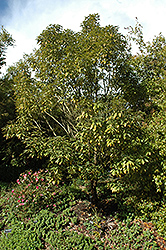 Buddhism Tree (Neolitsea sericea) at Alsip Home and Nursery
