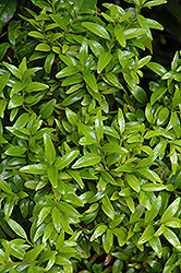 Himalayan Box (Buxus wallichiana) at Alsip Home and Nursery