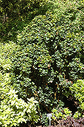 Dwarf Japanese Privet (Ligustrum japonicum 'rotundifolium') at Alsip Home and Nursery