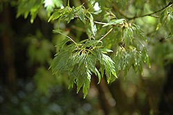 Sessilifolium Japanese Maple (Acer palmatum 'Sessilifolium') at Alsip Home and Nursery