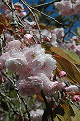 White Flowering Cherry (Prunus serrulata 'Alborosea') at Alsip Home and Nursery
