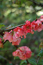 Red Chariot Flowering Quince (Chaenomeles 'Red Chariot') at Alsip Home and Nursery
