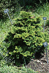 Tempelhof Falsecypress (Chamaecyparis obtusa 'Tempelhof') at Alsip Home and Nursery