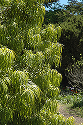 Long Leafed Yellowood (Podocarpus henkelii) at Alsip Home and Nursery