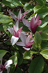 Lily Magnolia (Magnolia liliiflora) at Alsip Home and Nursery